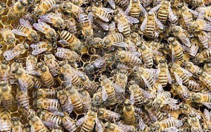Cara Ternak Lebah Madu