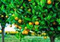 Hukum Menyewakan Pohon
